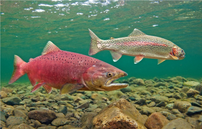 King salmon and Rainbow trout