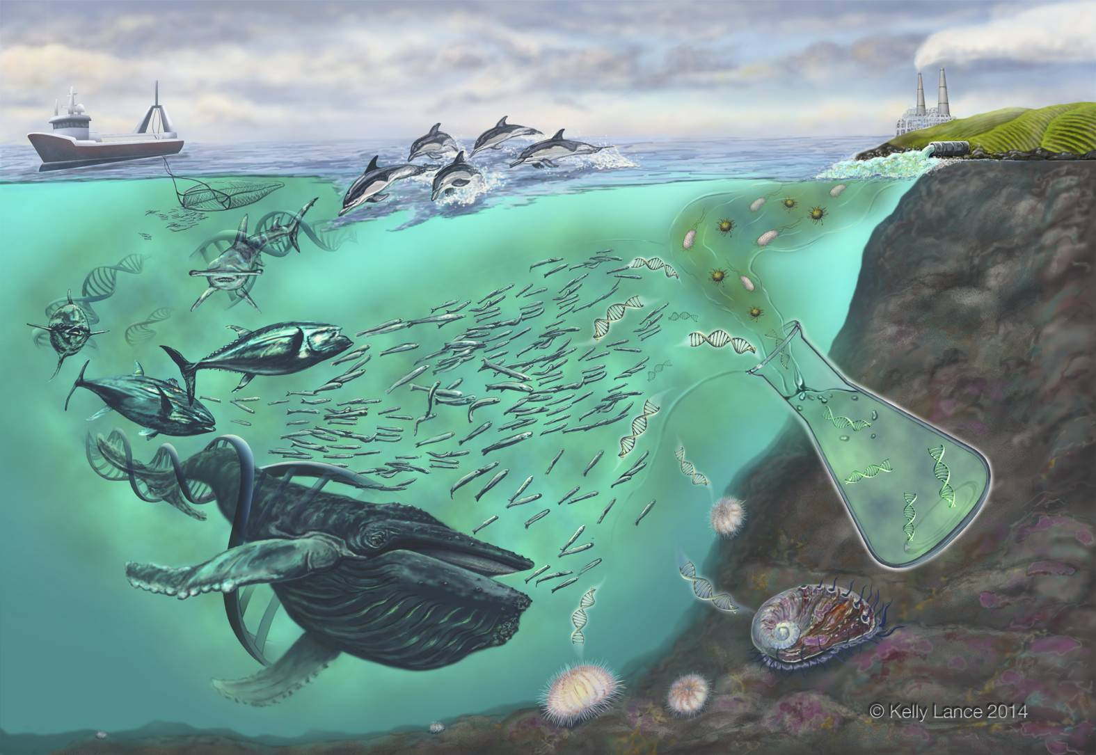 Through eDNA, a sample of seawater can yield information about who is living in nearby waters. (graphic: Kelly Lance)