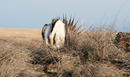 A male sage grouse displaying during mating season.