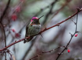 Anna's hummingbirds have become year-round residents thanks in part to backyard hummingbird feeders.
