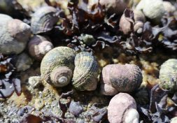 The Sitka periwinkle, a native marine snail, is often exposed on rocks at low tide.
