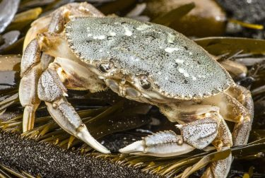 Dungeness crab.