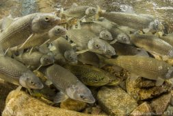 Fish communities are composed of species with diverse responses to environmental change.
