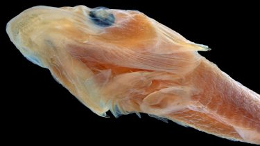 The head of the duckbilled clingfish.