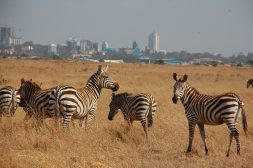 Zebras seen in Nairobi National Park in Kenya.