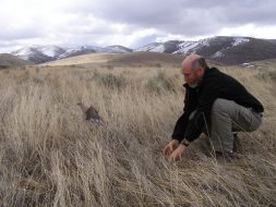 Co-author Michael Shroeder releases a male sage grouse in Idaho in 2010.