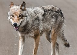 A gray wolf in Denali National Park.