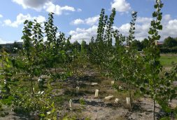 The darker, taller poplar trees shown at the test site at the end of their third season were inoculated with microbes, while the shorter, lighter-green trees (center row) were not given the bacteria.