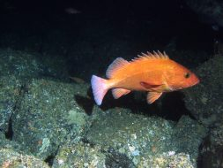 A bright orange fish fish swimming in dark water near the rocky ocean floor.