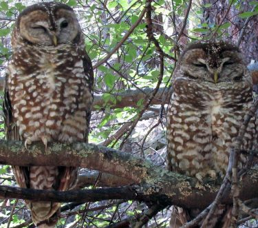 Two spotted owls sitting on a tree branch.