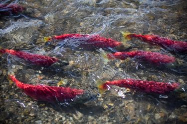 Alaska sockeye salmon migrating.