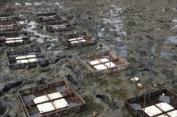 Square shaped oyster beds in the mud abutting a larger, open bod of water.