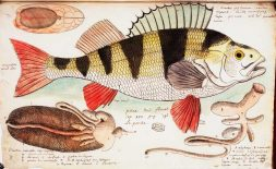 Illustration of a large fish with yellow and black stripes on its back and red fins.