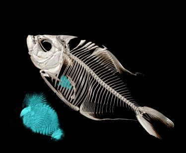 A CT-scanned image of the piranha Catoprion mento. The blue-dyed segments inside the skeleton are fish scales eaten by the piranha (also shown enlarged next to the fish).