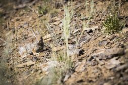 Mountain cottontail rabbit