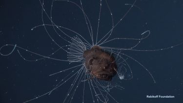A female anglerfish known as the Fanfin Seadevil is seen alive in this video screengrab taken at about 800 meters (2,660 feet) deep in the North Atlantic Ocean.