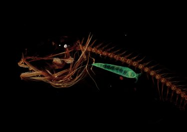 A CT scan of the Mariana snailfish, showing a side view. The green shape, a small crustacean, is seen in the snailfish's stomach.