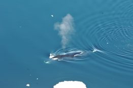 A bowhead whale surfaces in Fram Strait, to the northwest of Norway.