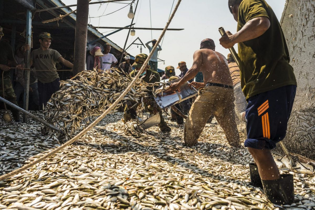 A huge net of small fish is unloaded onto a dock. Men up to their calves help shovel it to the side