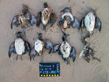 Cassin's auklets found on Moolack Beach, Oregon, in 2014. The birds are arranged for photo documentation, and the chalkboard lists the location and time these birds were found.