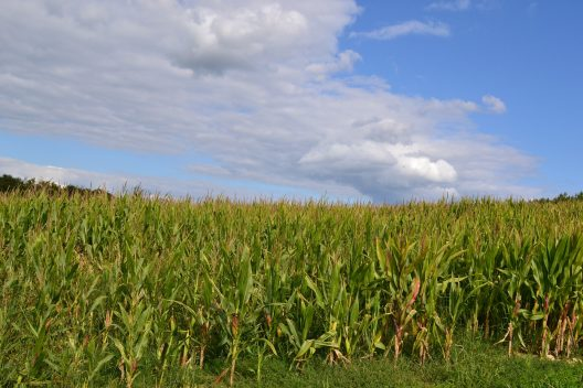 Corn field under a blue sky.