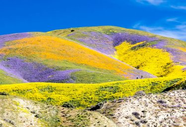 Carrizo Plain National Monument in the spring 2017 wildflower bloom.