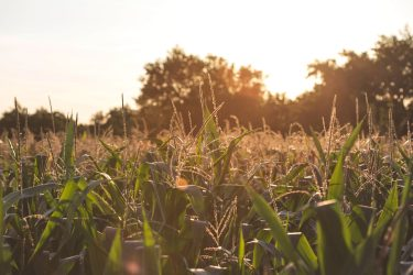 field of corn with setting sun in background