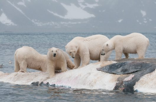 Four male polar bears standing on a floating whale carcass shortly after it drifted to shore on the island of Svalbard.