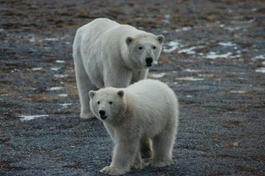 An adult female and cub in fall 2017 on Wrangel Island, where hundred of Chukchi Sea polar bears spend the summer months.