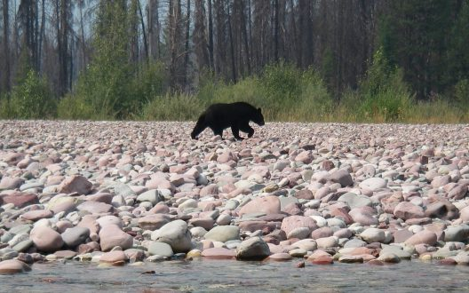 A black bear walks along the South Fork Flathead River in Montana.