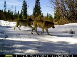 A pair of wolves run across the landscape in eastern Washington in 2016.