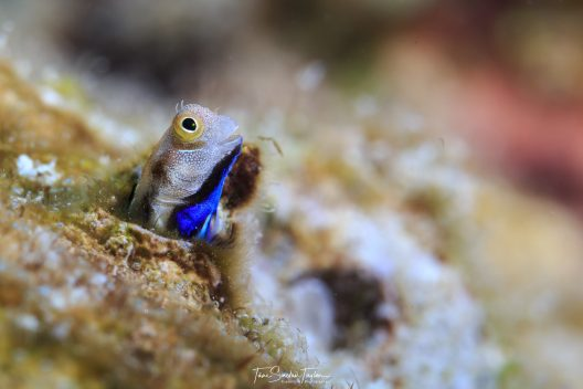 Most bottom-dwelling fish try to avoid predation through hiding or camouflage. This colorful bluebelly blenny fish scans its surroundings with its head sticking out of its hole.