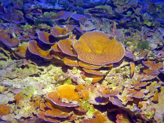 Mesophotic Coral