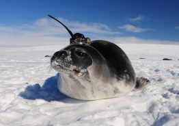 A seal wearing an ocean sensor.