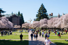 Cherry tree blossoms in full bloom in the University of Washington Quad in Seattle, Washington.