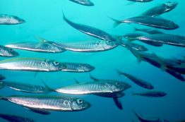 School of herring
