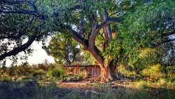A large, green leafed, deciduous cottonwood tree sprawls its branches over a wooden cabin.